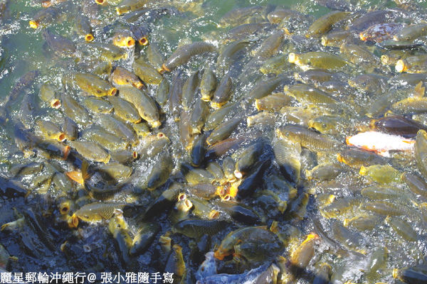 萬魚爭食,真壯觀