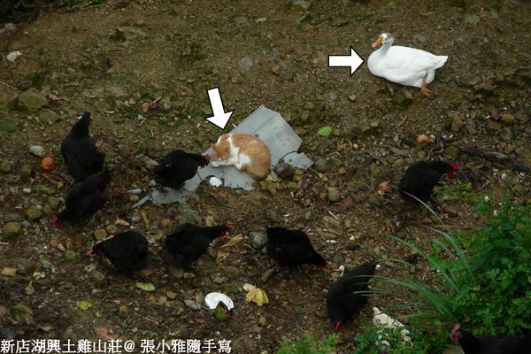 雞群裡不知為何有貓跟鴨