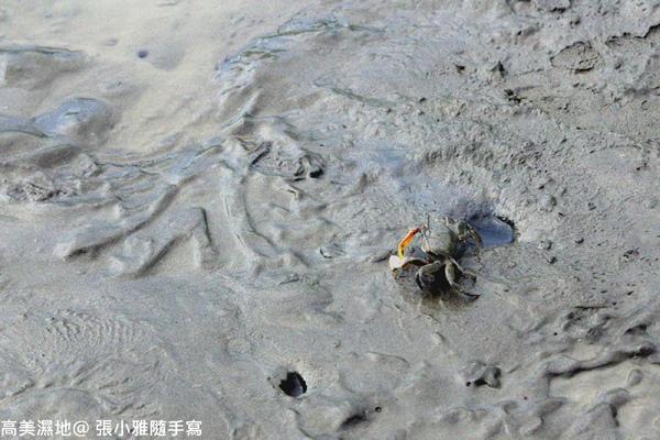 濕地上的大螃蟹