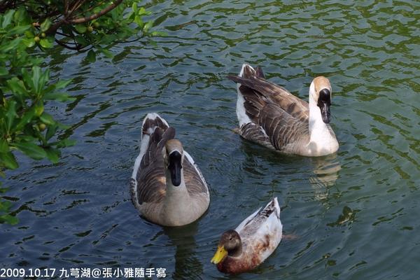 沒想到是鴨子,幹嘛來冒充天鵝啊你!