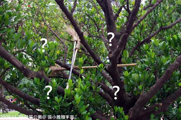 這些掃把是怎麼回事?這棵樹是工具間嘛?
