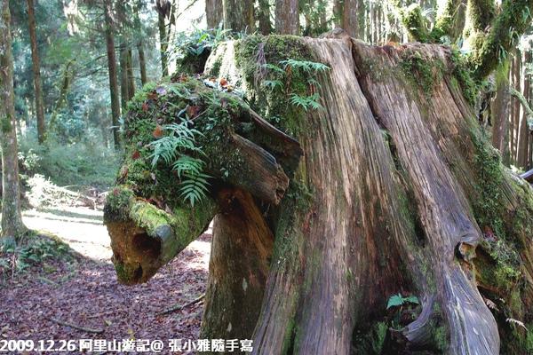 長的很像豬頭的樹根