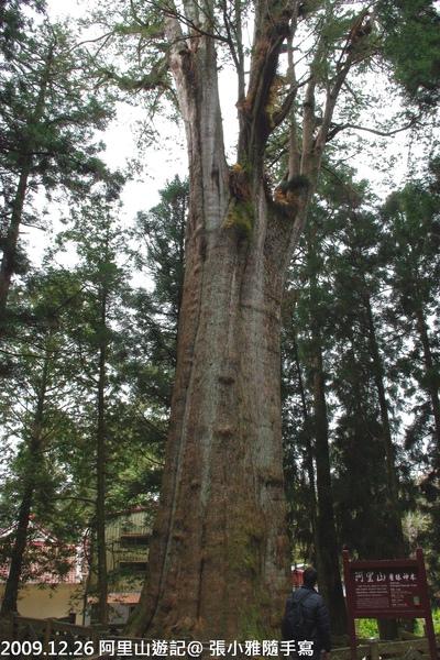 堯哥在香林神木旁感覺好渺小