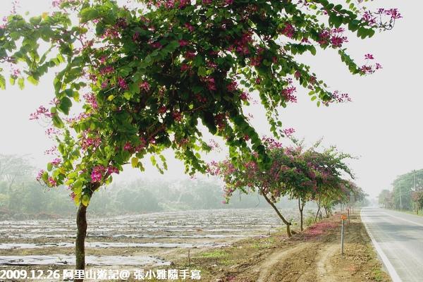 從中埔交流道下來往阿里山方向的公路,沿路都可以看到這種嘉義市花-艷紫荊