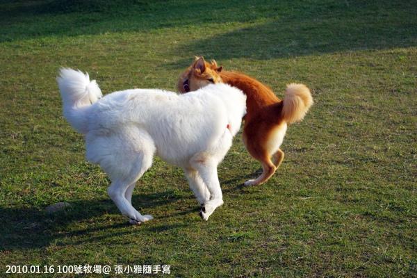 兩隻狗玩得很開心