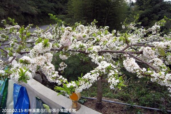 路旁的櫻花盛開