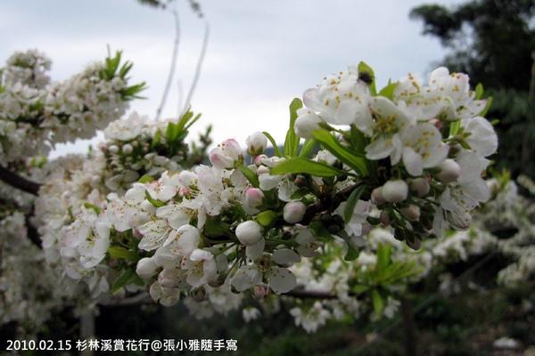 白色的櫻花