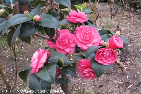 除了鬱金香還有美麗的茶花