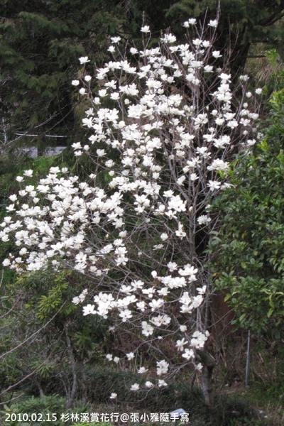 不是櫻花,但是也很美的白色花朵