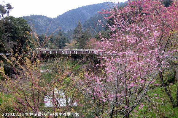四處都有盛開的櫻花