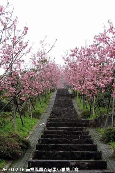 茶園旁的長階梯兩側,開滿一整排櫻花