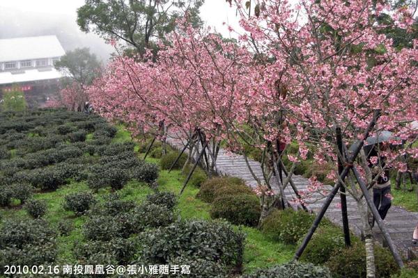 櫻花和茶樹