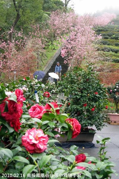 茶花、櫻花、茶樹