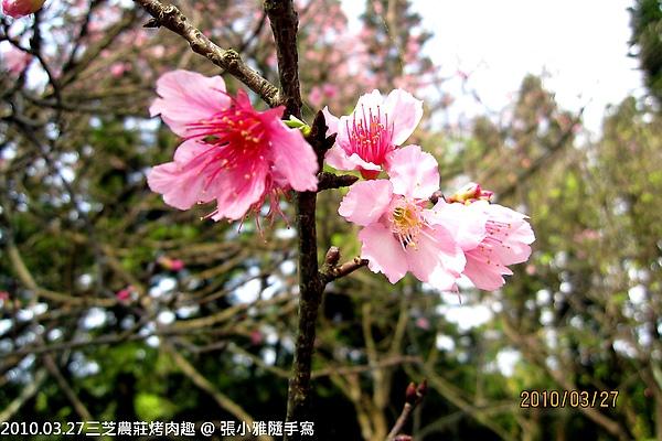 盛開的櫻花