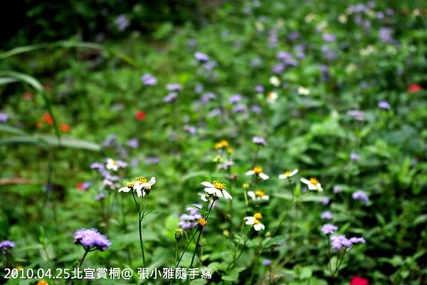 小野菊也拼命盛開