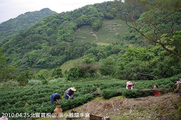 山上的採茶姑娘