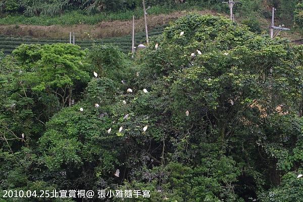 這些是白鷺鷥不是桐花喔!