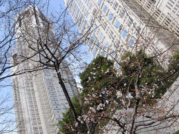 位在新宿的東京都庁的櫻花