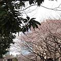 位在新宿東東京都庁的櫻花