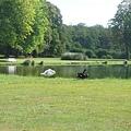 黑白天鵝在池畔