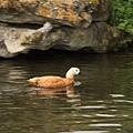 這隻鴨看到我們便很努力地游過來.  (它可能以為我們是來餵食的吧?)