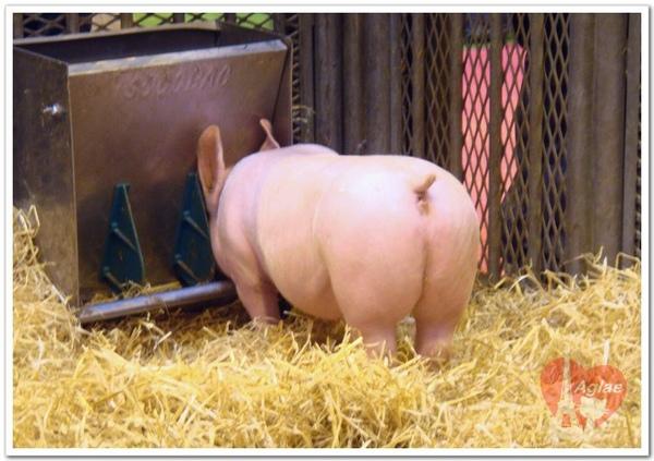 petit cochon.jpg