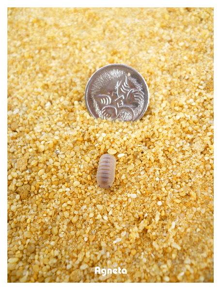 發現長相可愛的小蟲,用5 cent硬幣當比例尺