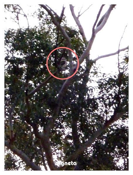 發現Kookaburra!! 他笑給我們聽喔 yayaya