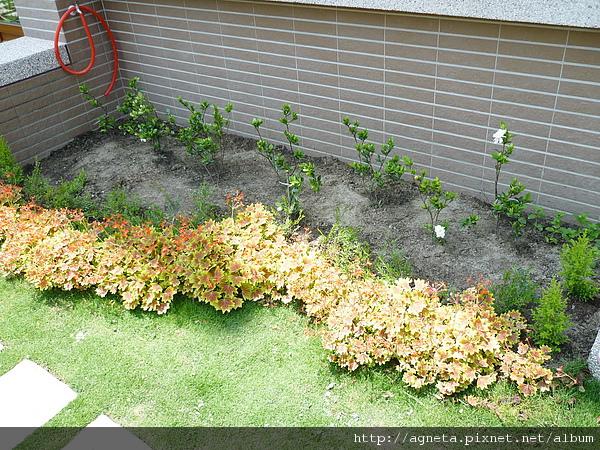 小花園改造 種了小葉梔子花