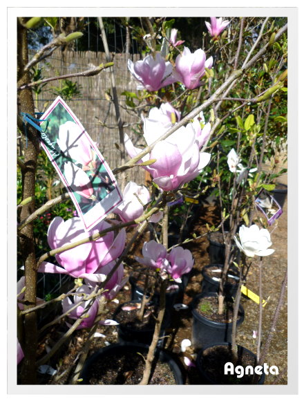 Mt. Tamborine 上的園藝店 有許多木蘭盛開著