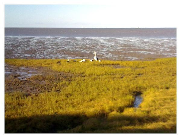 濕地中的草 有一群大嘴鳥