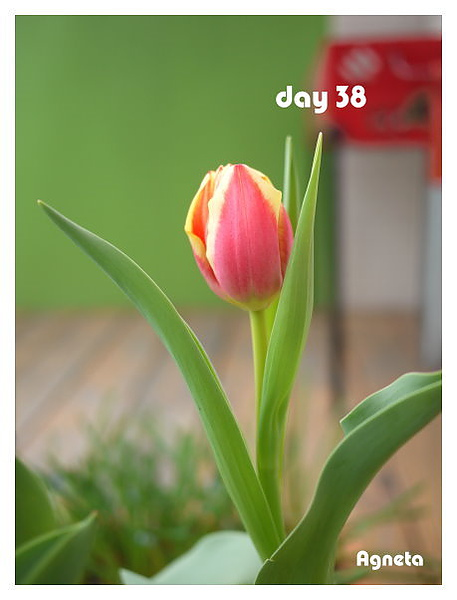 第一個花苞染上顏色了^^