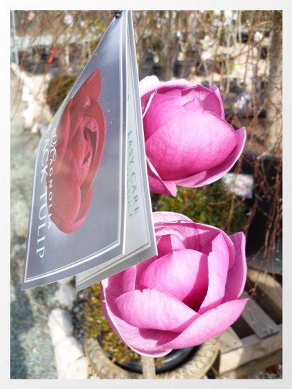 鬱金香形狀的木蘭
