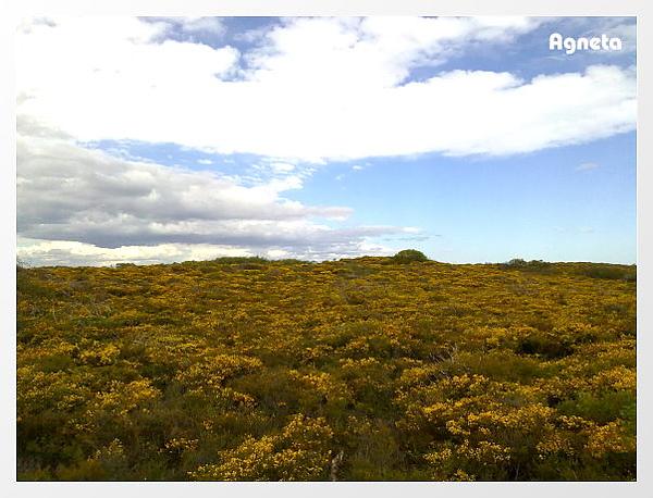 Gold Wattle 滿地盛開。。。顏色好亮