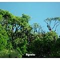 樹上都是蝙蝠!!!有點噁