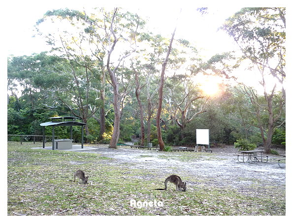 Jervis Bay到處是袋鼠 看了好幾群