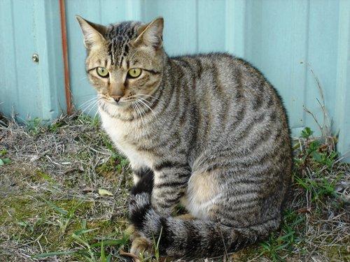可能是霹靂貓來臥底的街貓
