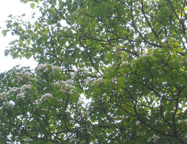 步道上離我們最近的油桐花樹