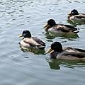 連鴨子都被養的肥肥的