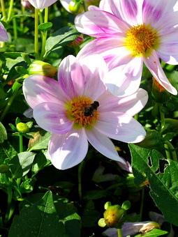 不經意拍到的蜜蜂..這裡的蜜蜂超幸福的啦