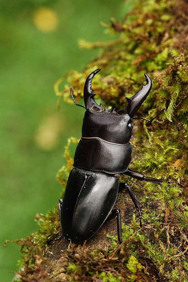 台灣的鍬形蟲6-扁鍬形蟲@ 艾曲批的部落格:: 痞客邦::