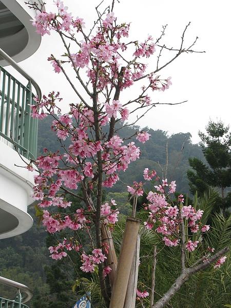 難得有株比較完整的櫻花...