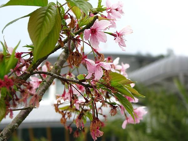 凋零的櫻花...