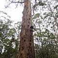 3-1.火警樹 全長61公尺