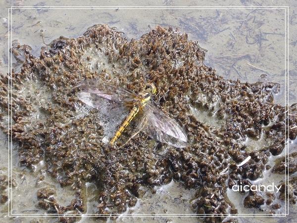 加羅湖-池畔的生命體.jpg