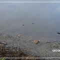 加羅湖-夜晚美麗合奏曲的主角1.jpg