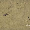 加羅湖-湖畔裡的另個生物體.jpg