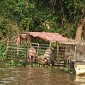 遊洞里薩湖-水上豬圈