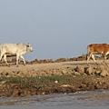 遊洞里薩湖-岸邊的牛隻