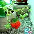 草莓成長日記